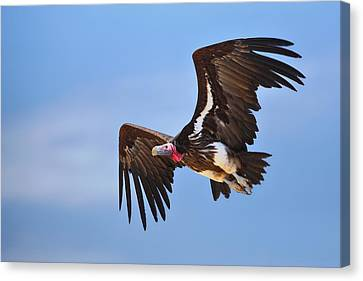 Lappetfaced Vulture Canvas Print by Johan Swanepoel