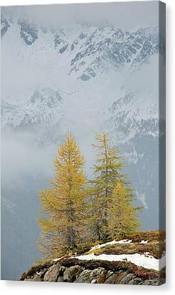 Larch Trees In The Mountains Canvas Print by Bob Gibbons