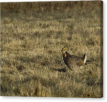 Last Prairie Chicken On The Booming Grounds  Canvas Print by Thomas Young