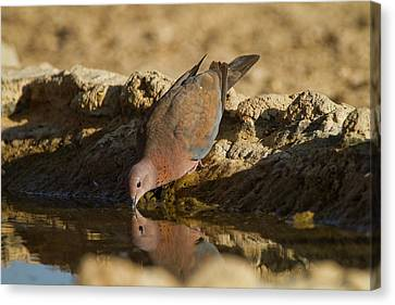 Laughing Dove (spilopelia Senegalensis) Canvas Print by Photostock-israel