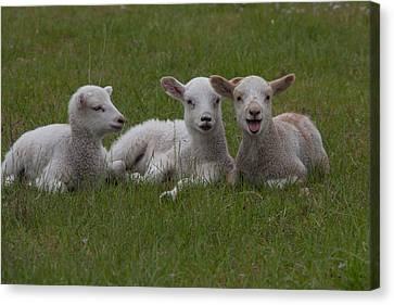 Laughing Lamb Canvas Print by Richard Baker