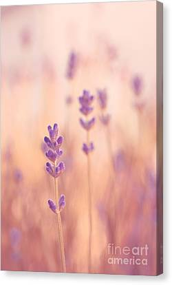 Lavandines 02 - S09a Canvas Print by Variance Collections