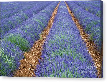 Lavendel 2 Canvas Print by Arterra Picture Library
