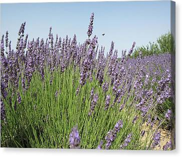 Lavender And The Bee Canvas Print by Pema Hou