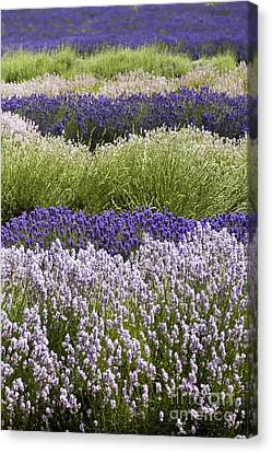 Lavender Bands Canvas Print by Anne Gilbert