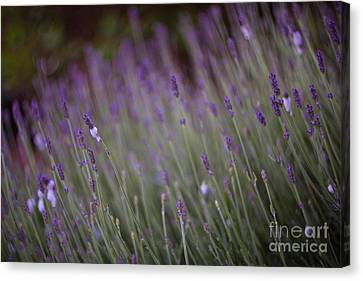 Lavender Canvas Print by Carrie Cole