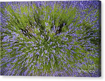 Lavender Explosion Canvas Print by Tim Gainey