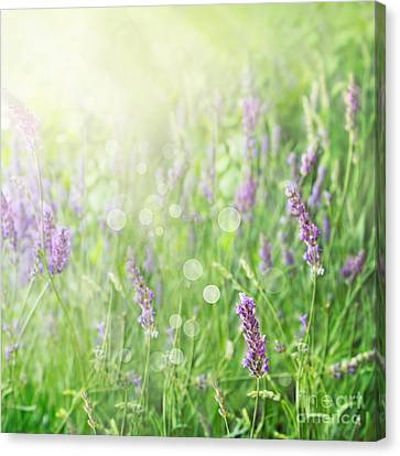 Lavender Field Background Canvas Print by Mythja  Photography