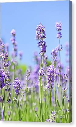 Lavender Flowering Canvas Print by Elena Elisseeva