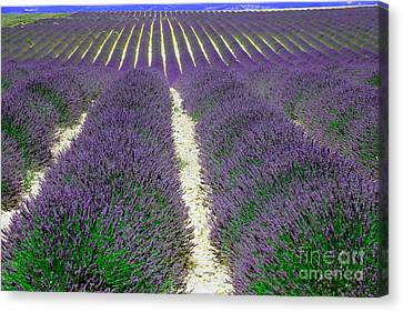 Lavender, French Provence Canvas Print by Adam Sylvester