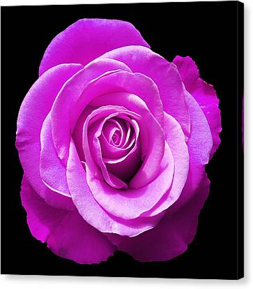 Lavender Rose Canvas Print by Aimee L Maher Photography and Art Visit ALMGallerydotcom