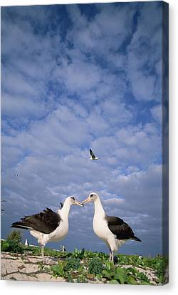 Laysan Albatross Pair Courting Midway Canvas Print by Tui De Roy