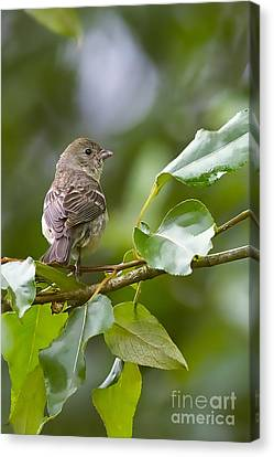 Lazuli Bunting Female 2 Canvas Print by Sharon Talson
