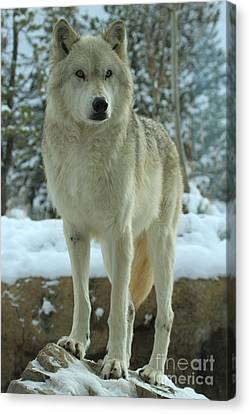 Leader Of The Pack Canvas Print by Adam Jewell