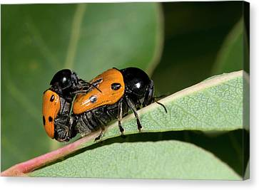 Leaf Beetles Canvas Print by Nigel Downer