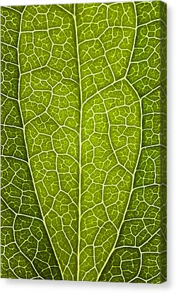 Leaf Lines V Canvas Print by Natalie Kinnear