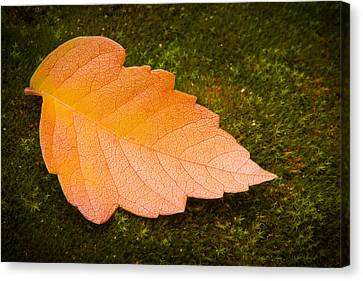 Leaf On Moss Canvas Print by Adam Romanowicz