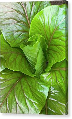 Leaf Rosette Of The Giant Himalayan Lily Canvas Print by Dr Jeremy Burgess
