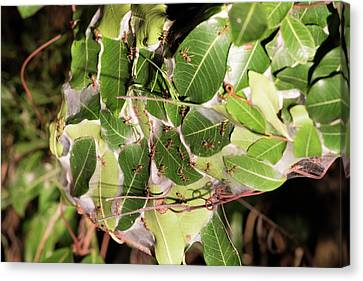 Leaf-stitching Ants Making A Nest Canvas Print by Tony Camacho