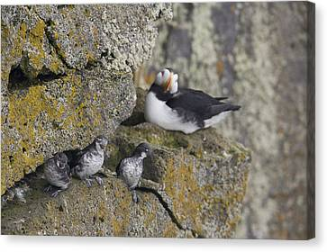 Least Auklets Perched On A Narrow Ledge Canvas Print by Milo Burcham