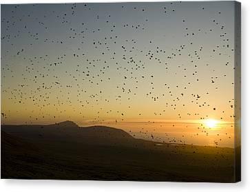 Least Auklets, Returning To Their Nest Canvas Print by Brian Guzzetti