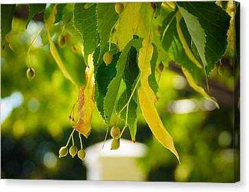 Leaves Hanging Canvas Print by Gloria Pasko