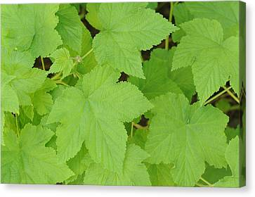 Leaves  Canvas Print by Harold E McCray