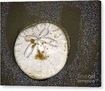 Legend Of The Sand Dollar Canvas Print by Beverly Guilliams