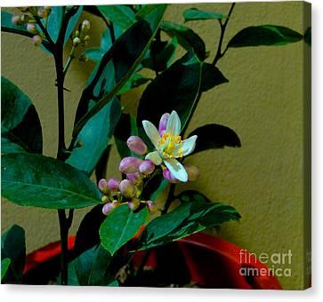 Lemon Tree Flower Canvas Print by Al Bourassa