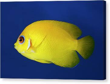 Lemonpeel Angelfish Canvas Print by Nigel Downer