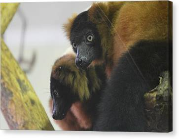 Lemur - National Zoo - 01131 Canvas Print by DC Photographer
