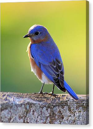 Lenore's Bluebird Canvas Print by Robert Frederick