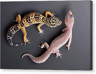 Leopard Gecko E. Macularius Collection Canvas Print by David Kenny