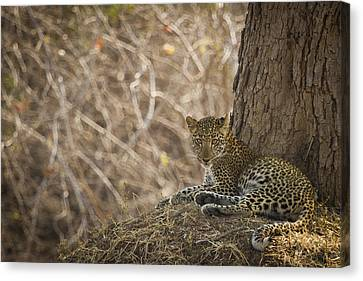 Leopard In Its Environment Canvas Print by Alison Buttigieg