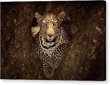 Leopard Resting On A Tree At Masai Mara Canvas Print by Ozkan Ozmen Photography