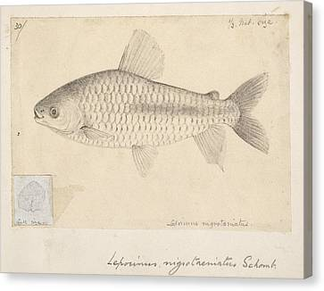 Leporinus Fish, Artwork Canvas Print by Science Photo Library