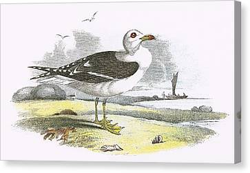 Lesser Black Backed Gull Canvas Print by English School