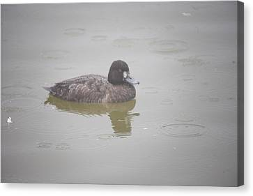 Lesser Scaup Female Canvas Print by Graham Foulkes