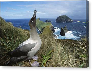 Light-mantled Albatross Sky-pointing Canvas Print by Tui De Roy