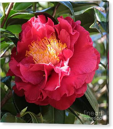 Light On Camellia Square Canvas Print by Carol Groenen