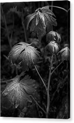 Light On The Leaf Canvas Print by Jon Glaser