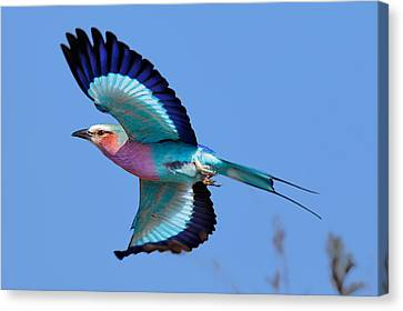 Lilac-breasted Roller In Flight Canvas Print by Johan Swanepoel