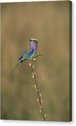 Lilac-breasted Roller Perching Africa Canvas Print by Konrad Wothe