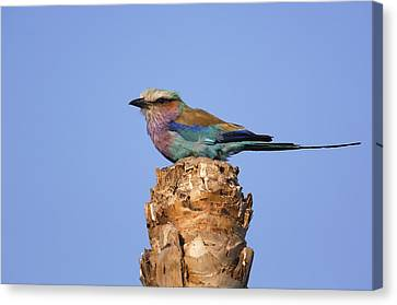 Lilac-breasted Roller Perching Africa Canvas Print by Pete Oxford