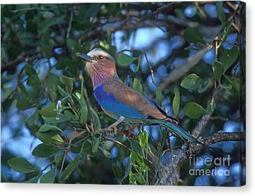 Lilac-breasted Roller Canvas Print by Ron Sanford