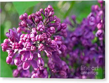 Lilac Dizzy Canvas Print by Gwyn Newcombe