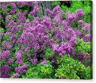Lilac Laneway  Canvas Print by Will Borden
