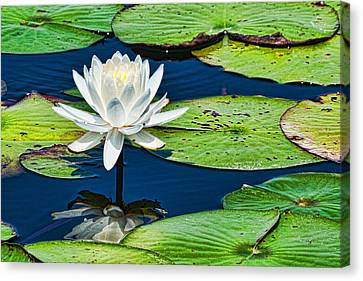 Lilly White Canvas Print by Frank Feliciano