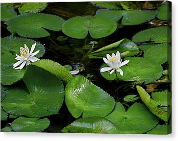 Lily Pads And Blossoms Canvas Print by Rich Franco