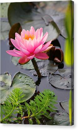 Lily Pink Canvas Print by Carolyn Stagger Cokley